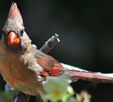 Female northern cardinal perched on a branch Sticker