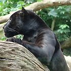 Panther Edinburgh Zoo by weecritter
