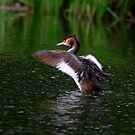 Great Crested Grebe  (Podiceps cristatus) by Hovis