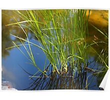 Water reeds growing out of the water Poster