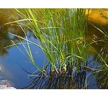 Water reeds growing out of the water Photographic Print