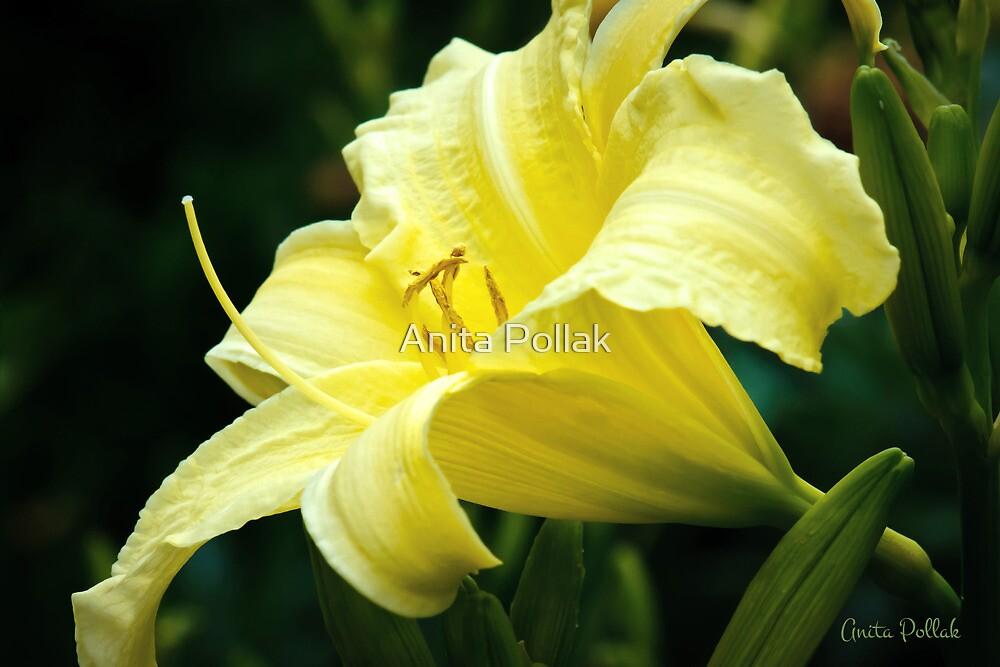 Yellow Daylily by Anita Pollak