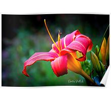 Red Daylily Poster