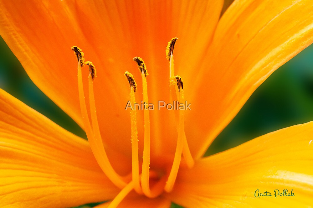 Orange Daylily by Anita Pollak