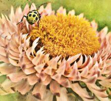 Beetle on the Strawflower Sticker