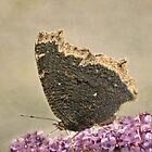 Mourning Cloak by KatMagic Photography