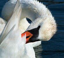 Swan Pluck by Karol Livote
