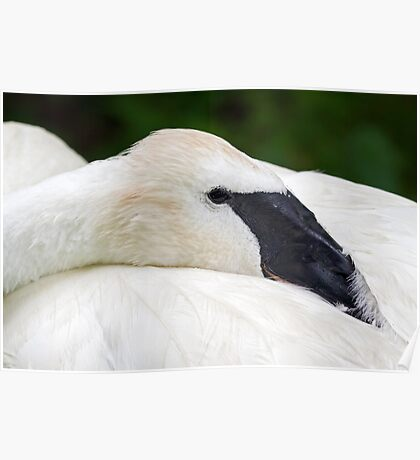 Trumpeter Swan at Rest Poster