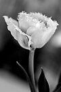 White Ruffled Tulip by Renee Hubbard Fine Art Photography