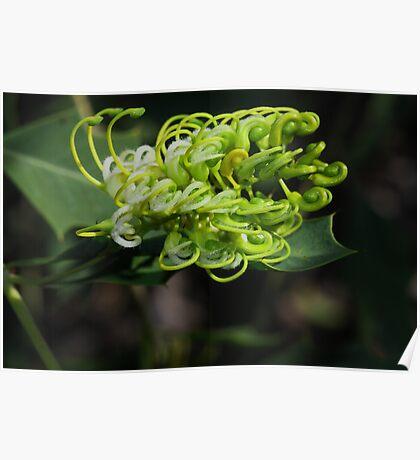 Grevillea angulata Poster