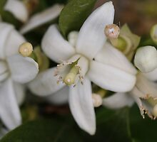 Orange Blossoms by triciaoshea