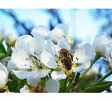 Bee Back on Apple Blossoms 1 Photographic Print