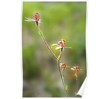 Antelope orchid, Caladenia discoidea Poster