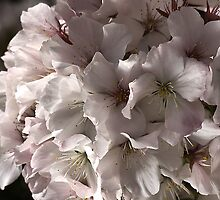 Softly Blossoms by Joy Watson
