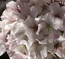 Softly Blossoms by Joy Watson