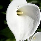White Lilly by waxyfrog