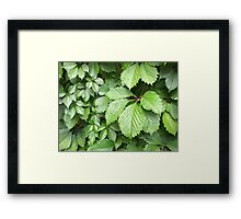Green leaves of wild grapes with water droplets Framed Print