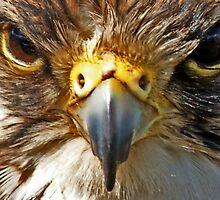 Peregrine Falcon Starring by David Alexander Elder