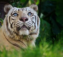 Siberian White Tiger by MadKeane