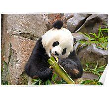 Panda and Bamboo Poster