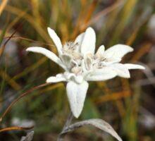 Alpine Edelweiss Sticker
