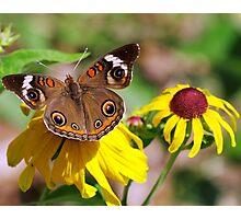 Buckeye Butterfly On Sunflower Photographic Print