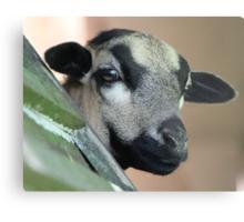 Curious Cameroon Sheep Metal Print