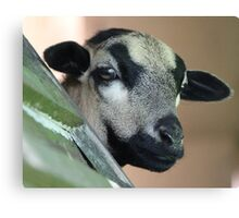 Curious Cameroon Sheep Canvas Print