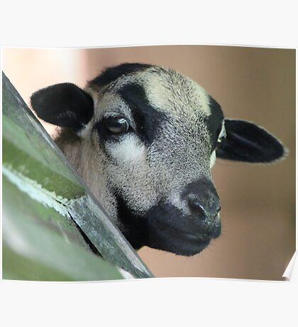 Curious Cameroon Sheep Poster