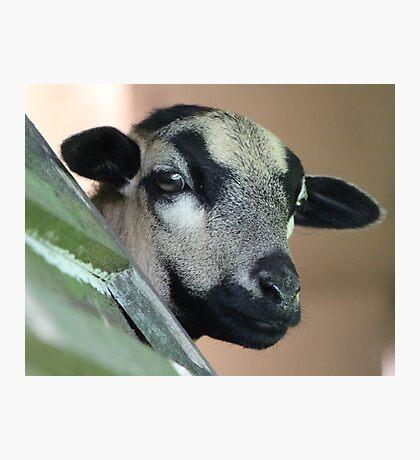 Curious Cameroon Sheep Photographic Print