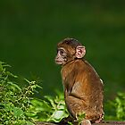 Baby Barbary Ape in the Sun by JMChown