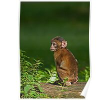 Baby Barbary Ape in the Sun Poster
