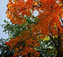 Orange Maple by goddarb