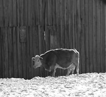 Lonely Cow in Black and White by Pamela O'Pecko