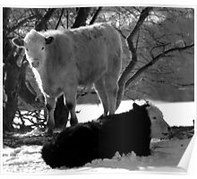 Calves in the Snow in Black and White Poster
