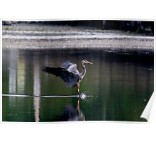 Landing Great Blue Heron Poster