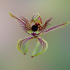 Dancing Spider Orchid, Caladenia discoidea by Julia Harwood