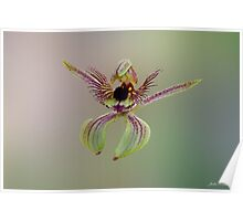 Dancing Spider Orchid, Caladenia discoidea Poster