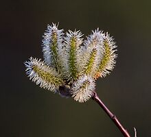 Willow Catkin by Tim Grams