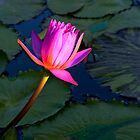 Pink Water Lilly - San Angelo , Texas by jphall
