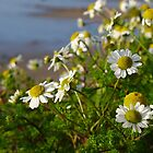 Daisies on the cliff at Nefyn, Llyn, North Wales by Anna Myerscough
