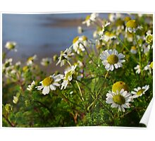 Daisies on the cliff at Nefyn, Llyn, North Wales Poster