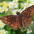 Flower Moth by Dennis Stewart