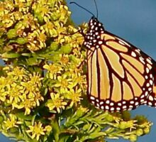 Monarch Migration  Sticker