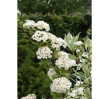 White Spirea Photographic Print