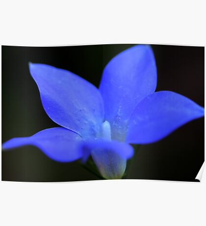 Wahlenbergia stricta Poster