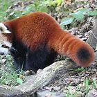 Red Panda. by kenmay