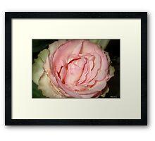 Sweet Old Fashioned Rose Framed Print