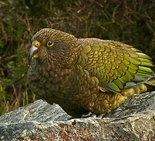 Kea - New Zealand Alpine Parrot by ChrisNZ