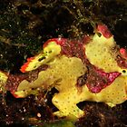 Clown Frogfish by MattTworkowski